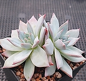 파랑새2두 8-277|Echeveria blue bird