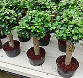 이쁜가주마루펜다고무나무 Ficus elastica