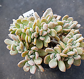 오팔리나철화345|Graptoveria Opalina