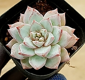 파랑새 29-255|Echeveria blue bird