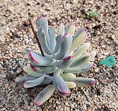 원종복랑금71(자구5)|Cotyledon orbiculata cv variegated