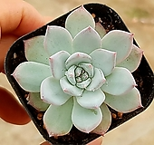 파랑새 63-199|Echeveria blue bird