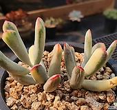 원종방울복랑금 819-8|Cotyledon orbiculata cv variegated