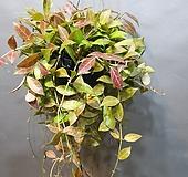 레베카호야걸이 (새로출시) 잎이잔잔해 더 예뼈요|Hoya carnosa