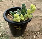 벽어연금(3) Corpuscularia lehmanni