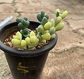벽어연금(5) Corpuscularia lehmanni