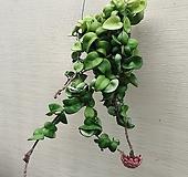 리본호야 꼬불이호야 공중식물|
