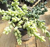 묵은 벽어연금(변이/대품한몸)-240 Corpuscularia lehmanni
