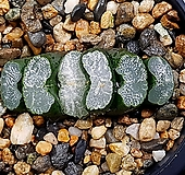 실생옥선(중묘) 84-7 Haworthia truncata