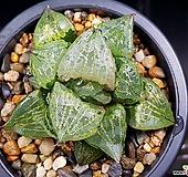 이반야(중대묘) 84-13 Haworthia cv. Urahanya