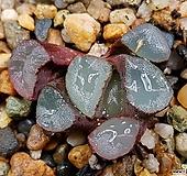 자렌즈만상 84-18 Haworthia maughanii
