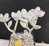 방울복랑 Cotyledon orbiculata cv
