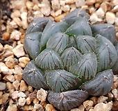 블랙옵투사.335 Haworthia cymbiformis var. obtusa