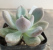 오팔리나 23|Graptoveria Opalina