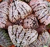 환엽핑크픽타 무늬좋은하월시아입니다 수입들어와서뿌리정리하고내리는중입니다 haworthia