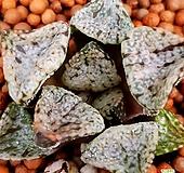 하월시아 판도라 수입들어와서뿌리정리하고내리는중입니다 haworthia