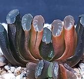 옥선금군생|Haworthia truncata variegated