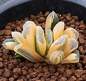 하월시아 정고금 haworthia