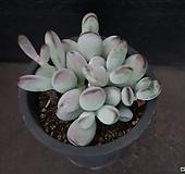 방울복랑 50 Cotyledon orbiculata cv