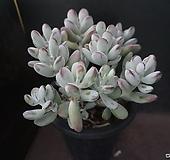 방울복랑(대) 54 Cotyledon orbiculata cv