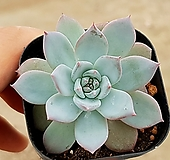 파랑새 64-258|Echeveria blue bird