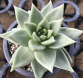 멕시코야생마리아 Echeveria agavoides Maria