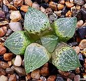 픽타X마계 85-27 Haworthia picta