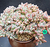 오팔리나철화|Graptoveria Opalina