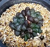 블랙자옵투샤45 Haworthia var. obtusa(purple)