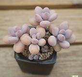 아메치스 0821-59 Graptopetalum amethystinum