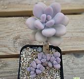 아메치스 0821-88 Graptopetalum amethystinum