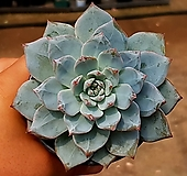 파랑새(대) 65-105|Echeveria blue bird