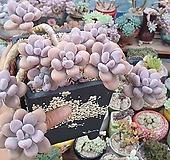 아메치스묵은둥이자연군생 대품 Graptopetalum amethystinum