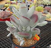 방울복랑8-1400 Cotyledon orbiculata cv