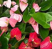 안시리움/안시륨(분홍.빨강)2종1세트|Anthurium andraeaeanum