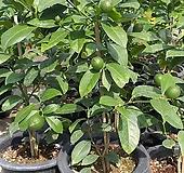 오렌지레몬나무/한목대/일자형|