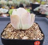 그라노비아 기간티아|Greenovia diplocycla var.gigantea
