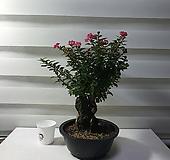 소엽백일홍|