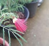 [대품]홍자귀나무|