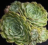 중대품 온슬로우 1|Echeveria cv  Onslow
