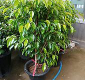 원종벤자민나무-1급공기정화식물대품100|