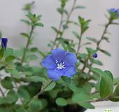 보라색 꽃~아메리칸 블루(3포트 한묶음) 