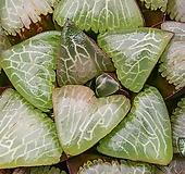 탈리아(Thalia)-07-11 - 특대형의 환엽창에 이글거리는 백선과 그 속을 가로지르는 자문이 일품. 