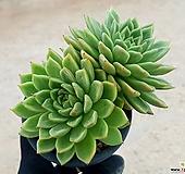 에보니*자라고사(대) 12-420|Echeveria mexensis Zaragosa