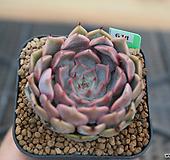 핑크자라고사 S9-611|Echeveria mexensis Zaragosa