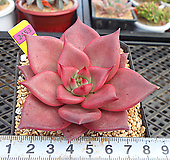 레드에보니9-2453|Echeveria agavoides ebony red