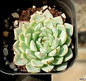 화이트자라고사 75-169|Echeveria mexensis Zaragosa