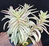 화제금|Crassula Americana cv.Flame