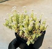 희성금 75-249|Crassula Rupestris variegata