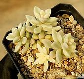 베라하긴스금 75-287|Graptopetalum Mirinae